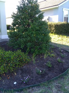 Creeping Lantanas -- After